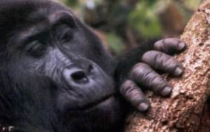 gentle mountain gorilla