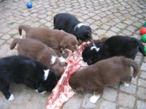 puppies-eating-meat