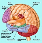 This is the pre frontal cortex of the brain